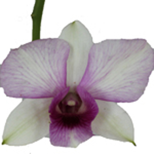 Berry Burst Wedding Orchid Lei