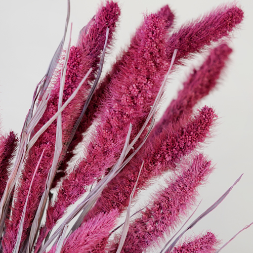 Maroon Foxtail Millet Grass