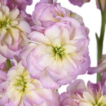 Blush Spray Stock Flower