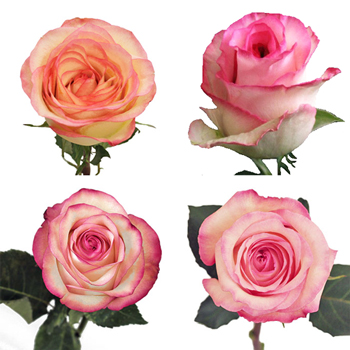 Valentine\\\'s White with Pink Edges Rose Special