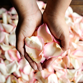 Rose Petals White with Pink Tips