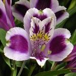 Bicolor White and Purple Alstromeria