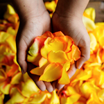 Sunset Rose Petals Wholesale