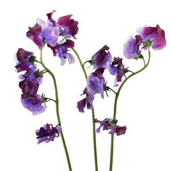 Lavender and Purple Bicolor Designer Japanese Sweet Peas