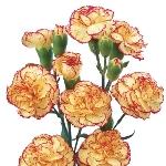 Bulk Bicolor Yellow and Orange Mini Carnation Flowers