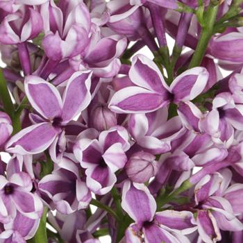 Premium Bicolor Lilac Flower