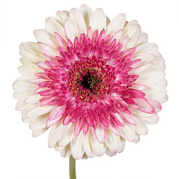 So Charming Mini Gerbera Daisy