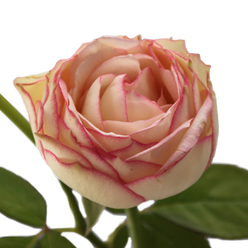 Biedermeier White and Pink Sweetheart Garden Rose
