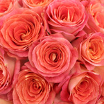 Coral Sherbet Big Fun Rose