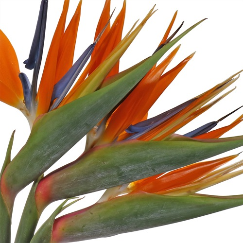 Birds of Paradise Tropical Flower