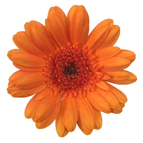 Orange Burst Mini Gerbera Daisies