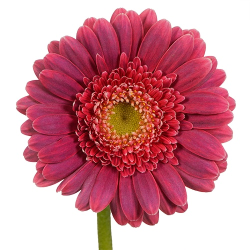 Dynamo Hot Pink  Mini Gerbera Daisy