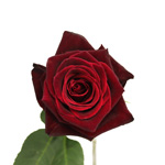 Black Bacarra Red Rose