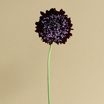 Blackberry Scabiosa Flower