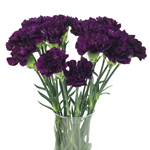 Blackish Purple Bulk Carnation flower
