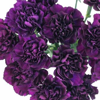 Blackish Purple Carnation Flowers
