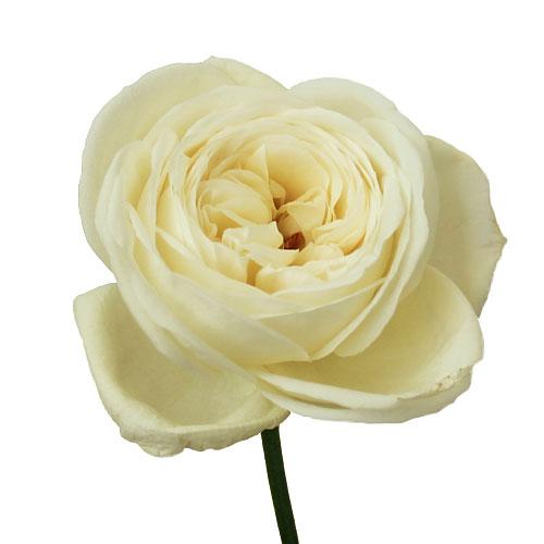 Pure Innocence Garden Rose