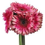 Bulk Novelty Gerber Flower