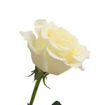 Bulk Rose White Blizzard