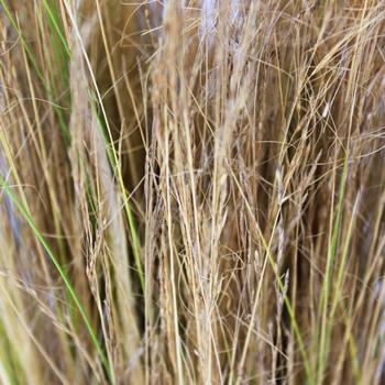 Blonde Love Grass