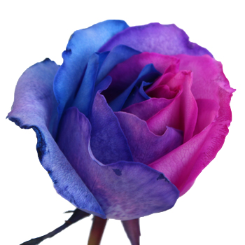 Blue, Pink and Purple Rainbow Roses