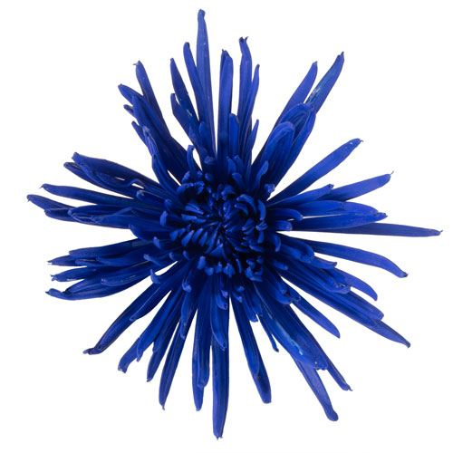 Night Time Blue Airbrushed Spider Mum
