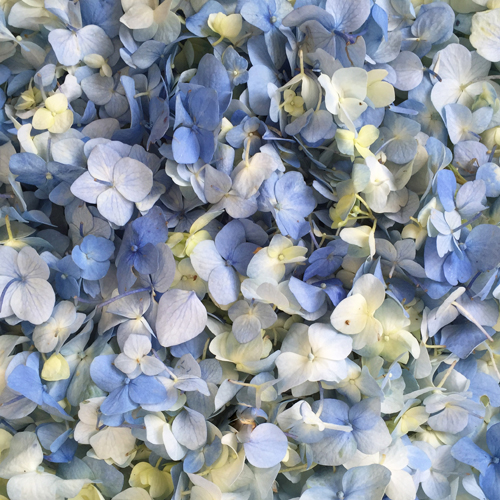 Fresh Hydrangea Petals Blue Bliss