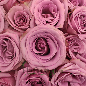Blue Curiosa Lavender Purple Rose