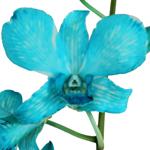 Blue Dendrobium orchid Wholesale Bloom