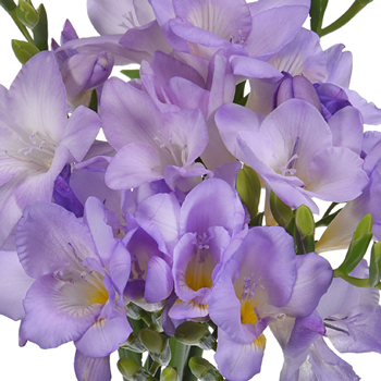 Lavender Freesia Flower