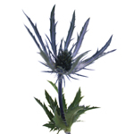 Blue Thistle Wholesale Flowers Stem Bloom
