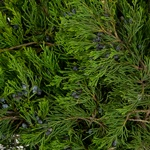 Blue Berry Cedar - Buy Bulk FREE SHIPPING!