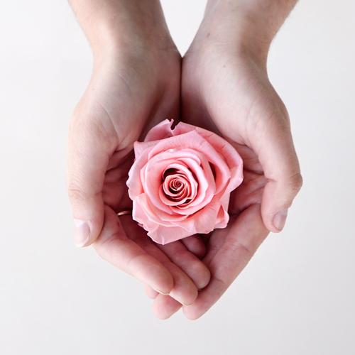 Preserved Blush Rose