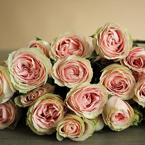 Soft Pink Spray Rose