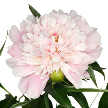 Blush Peony Flowers September Delivery