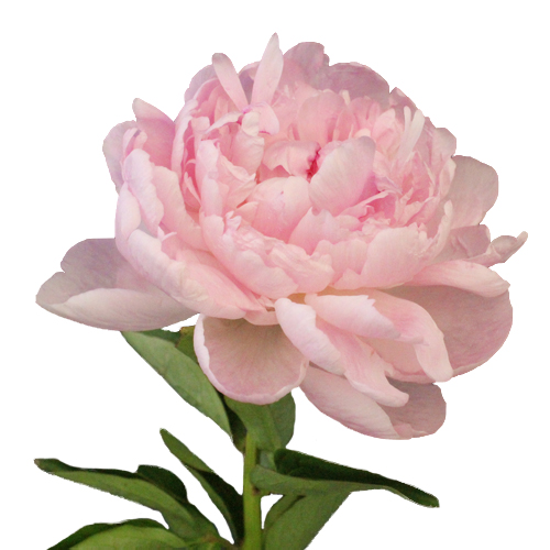 Blush Peony Flower October Delivery