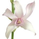 Blush Dendrobium orchids Wholesale Bloom