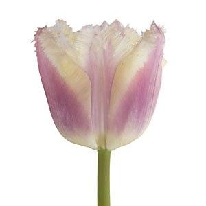 Blush Novelty Tulip Flower