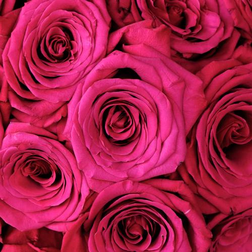 Roseberry Pink Rose