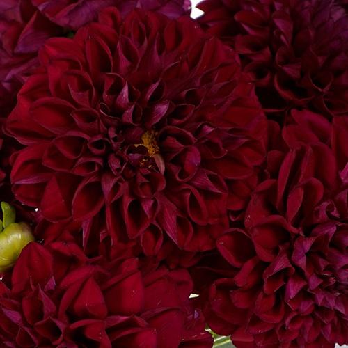 Burgundy Shadow Dahlia Flower