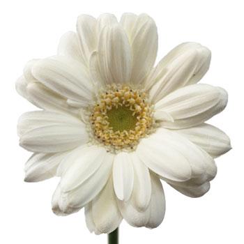 Bone White Mini Gerber Daisy