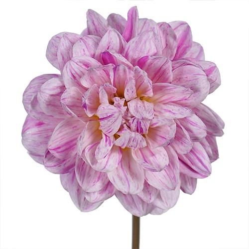 Pink Brushstrokes Dahlia Flower