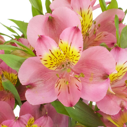 Dark Raspberry Pink Peruvian Lilies