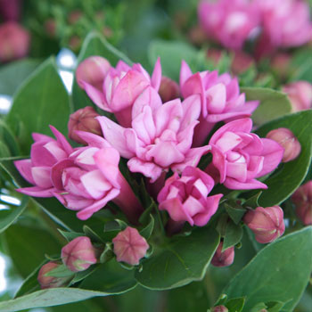 Hot Pink Bouvardia Flower