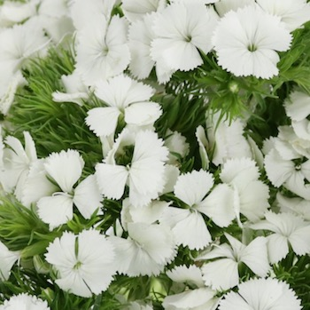 Dreamy White Breanthus