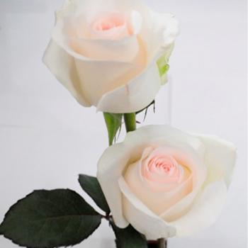 Lovely Bride Sweetheart Roses