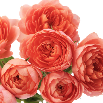 Fresh romantic antique sweetheart garden roses that are bright orange
