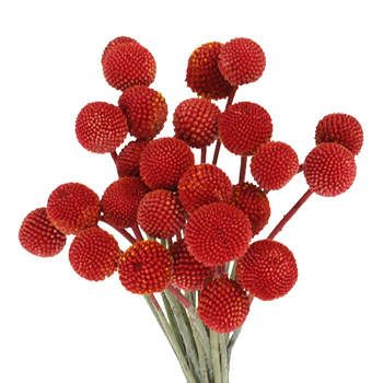 Craspedia Billy Balls Red Flower
