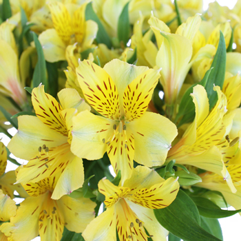 Bright Yellow Alstroemeria Flower