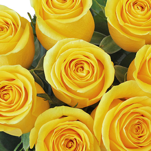 Bright Canary Yellow Rose
